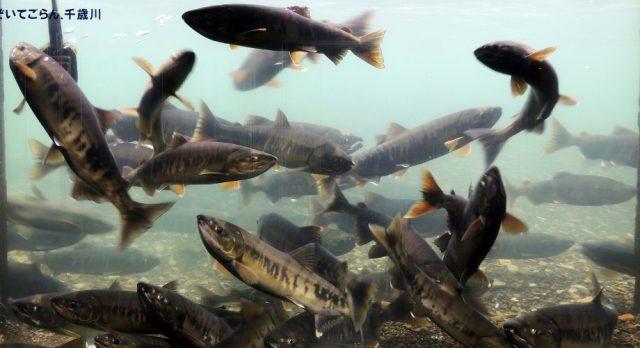 千歳川に遡上したサケの群れ