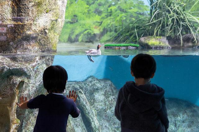 カイツブリ水槽と水辺の生き物