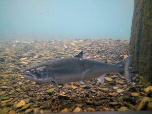 サクラマス親魚